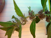 Spearmint flowering herb
