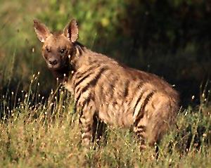 http://www.indianetzone.com/photos_gallery/10/hyena_7499.jpg