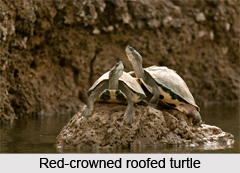 Red Crowned Roofed Turtle Indian Reptile