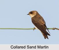 Indian Martins, Indian Birds