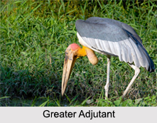 Indian Adjutants, Indian Birds