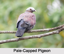 Indian Pigeons