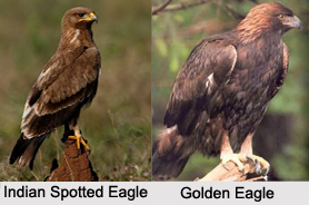 Indian Eagles, Indian Birds
