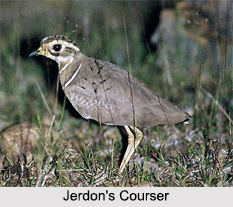 Indian Coursers, Indian Birds