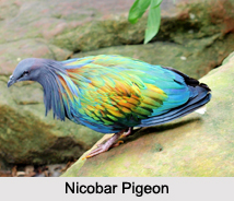 Indian Pigeons