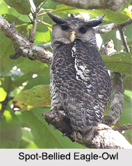 Indian Owls