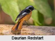Indian Redstarts, Indian Birds
