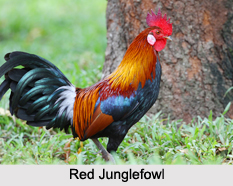 Indian Junglefowls, Indian Bird