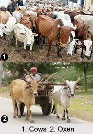 Animal Husbandry in India