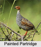 Indian Partridges