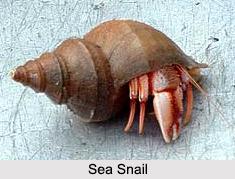 Indian Snails, Molluscs