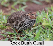Indian Quails, Indian Birds