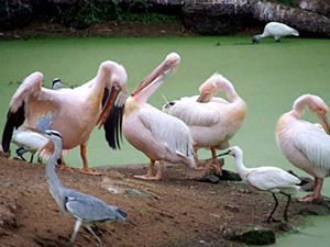 Pelicans at Nandankanan Zoological Park
