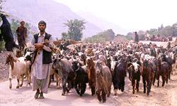 Nomadic Gujjar Tribe