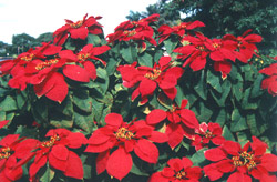 The Poinsettia