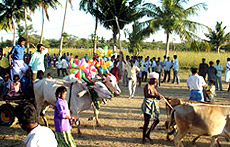 Tamil  Festival Pongal