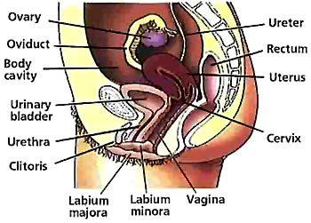 Inflammation of the Uterus