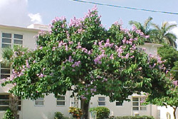The Queen`s Flower Tree