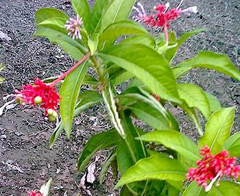 Rauwolfia - Sarpagandha, Indian Plant