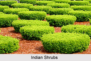 Indian Shrubs