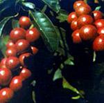 Kokam fruits