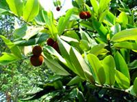 Kokam Tree