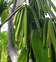 Vanilla Fruit