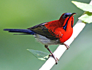 Sunbird in India
