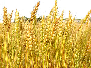 Wheat, Indian Food Crop