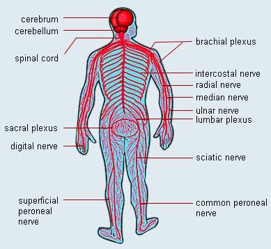 Human nervous system diagram ccuart Images
