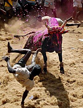Jallikattu, Indian Traditional Sport