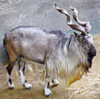 Indian+goat+image