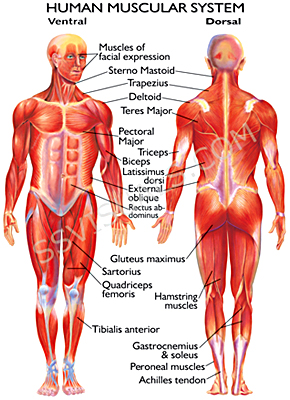 references - the muscular system, Muscles