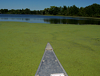 yellow green algae