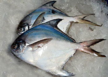 Pomfret fish indian marine species for Types of edible fish