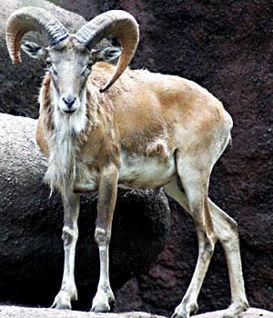 ancestor of domestic sheep