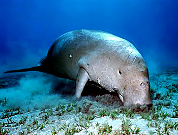 Dugong, Sea Cow, Indian Marine Species