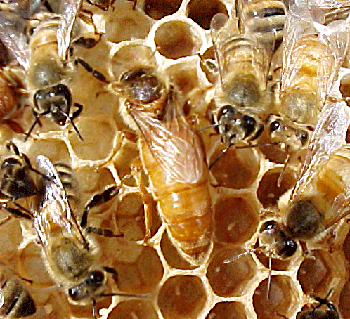 queen bee laying eggs - photo #3