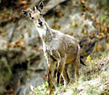 Goral, Indian Animal