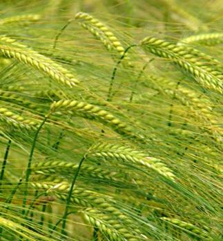 Barley Crops