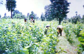 Balaghat, Madhya Pradesh Sericulture Industry - Mulberry Plantation