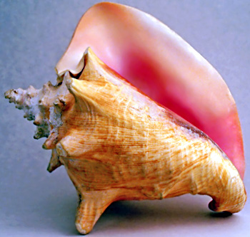Conch, Wind Instrument
