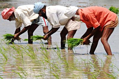 Agriculture - Sriganganagar , Rajasthan