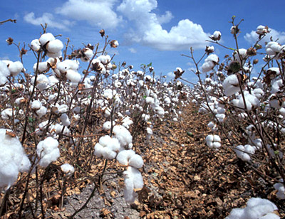 Cotton Farming at Andhra Pradesh