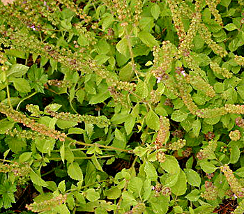 Arjaka, Common Basil