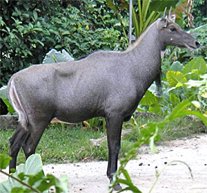 Nilgai , Indian Animal