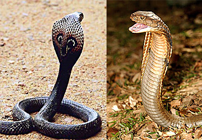 King Cobra in India