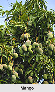Mango Tree, Indian Trees