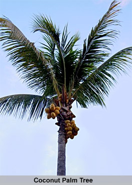 Coconut Palm Tree, Indian Tree