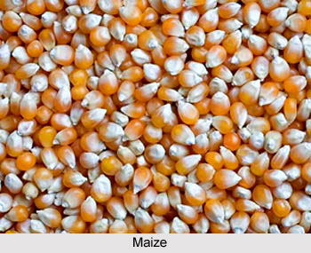 Maize, Indian Food Crop